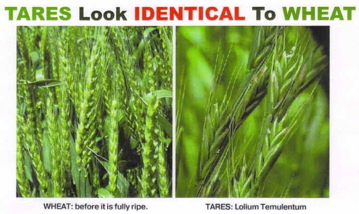 wheat-vs-tares-001