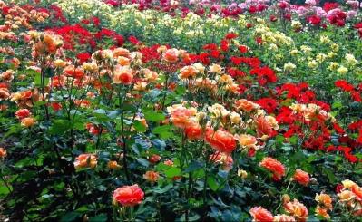 Rose garden wallpaper (10)
